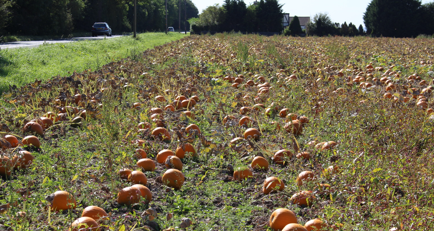 A pumpkin field at harvest time
