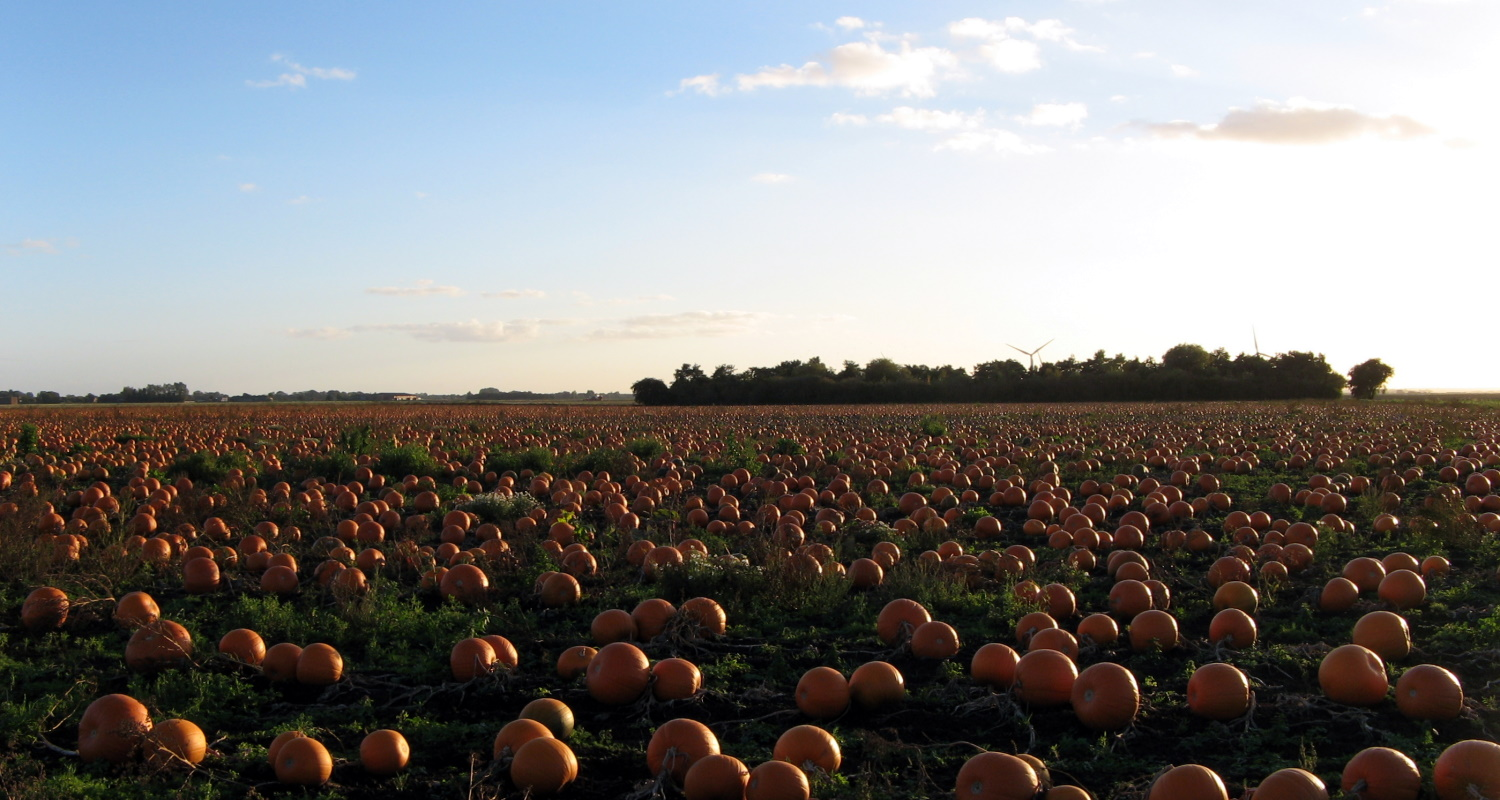 Pumpkins at harvest time