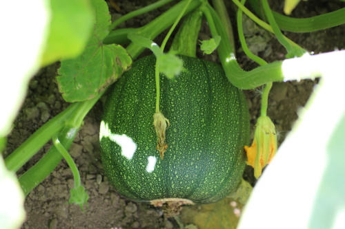 A pumpkin before ripening