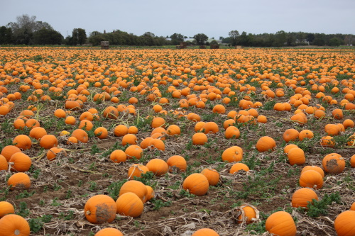 Pumpkins ready for harvest